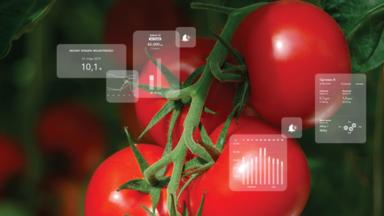 tomato, plants