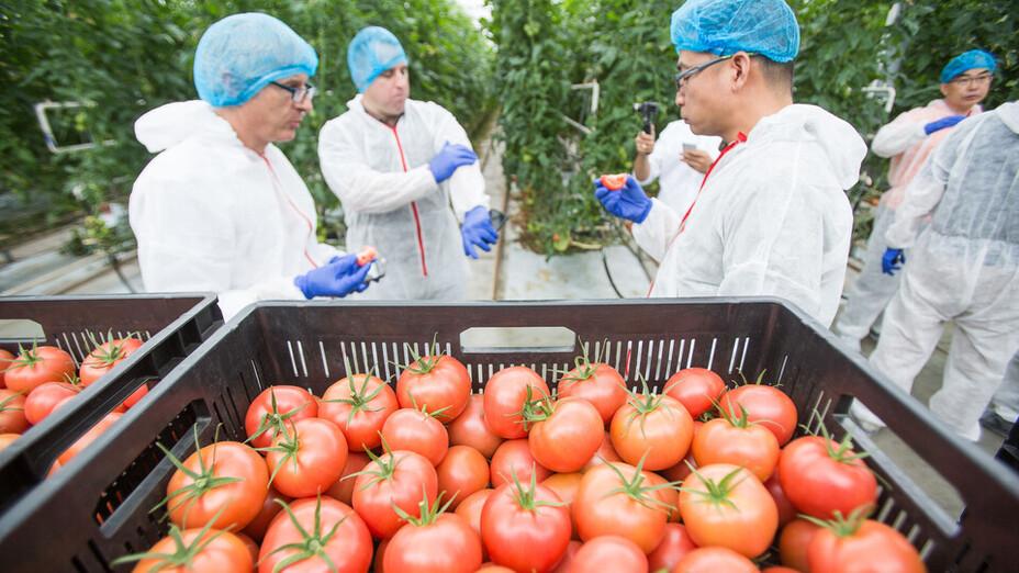 e-Gro launch and 50th Anniv PL, tomato, plant, work, men, grodan, reap